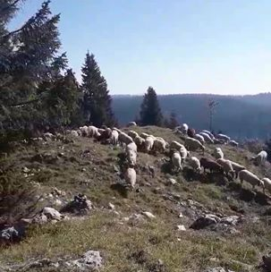 Photo of Sheep grazing Noirmont